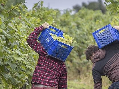 dos personas vendimiando el viñedo con dos cajas de uvas en la igp vinos tierra de Castilla y León