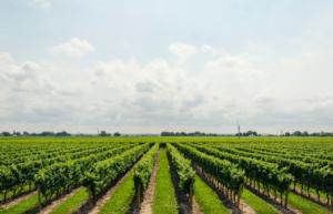 viñedos de producción ecológica