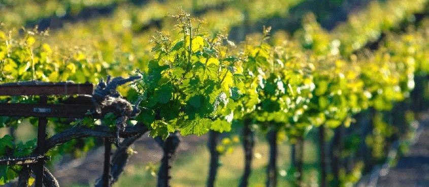 imagen de viñedos